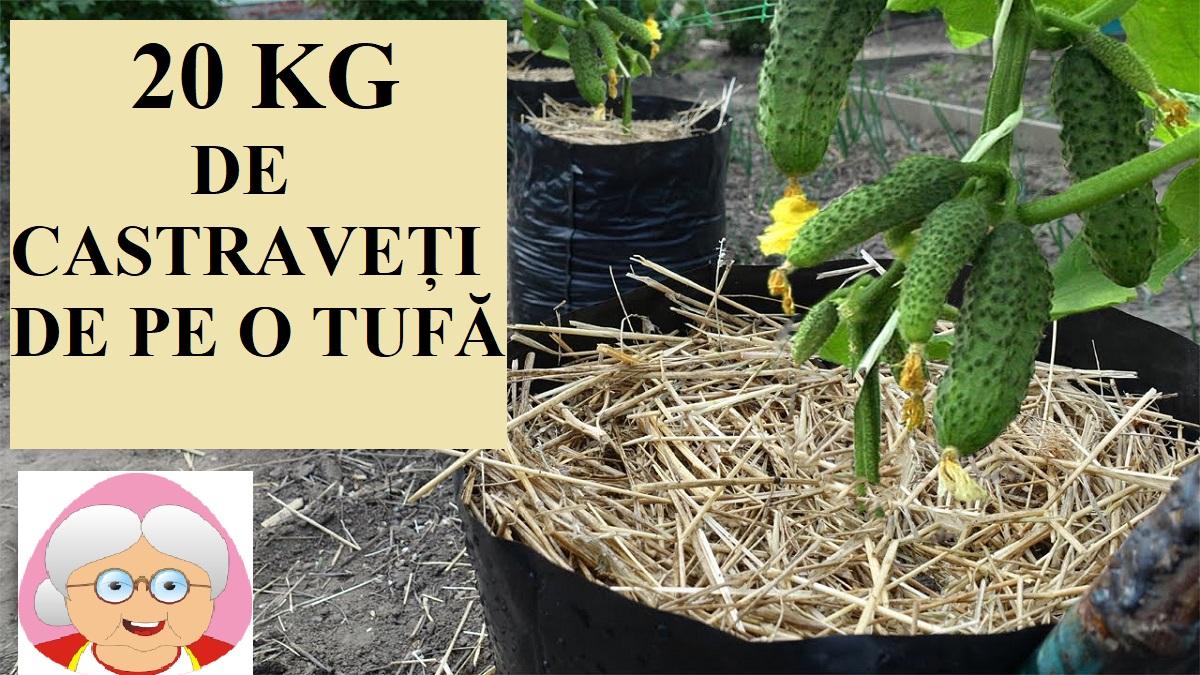 Cultivați castraveții astfel pentru a obține recoltă timpurie și bogată!