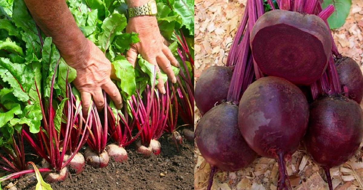 Un grădinar ingenios povestește cum să creșteți sfeclă roșie mare și suculentă!