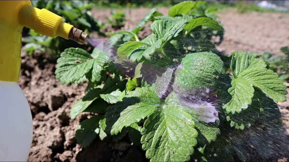 Veți culege câte o căldare de căpșuni de pe fiecare tufă după această bombă vitaminoasă aplicată foliar și sub rădăcină!