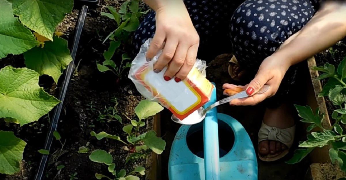 Bicarbonatul de sodiu — salvatorul grădinii! Pur și simplu adăugați-l în apa din stropitoare și udați grădina!