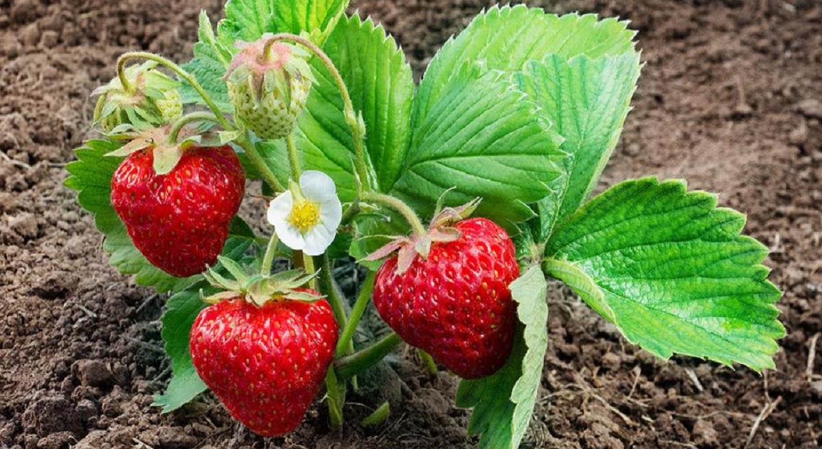 Îngrijirea corectă a tufelor de căpșuni după rodire — pentru o recoltă bogată în sezonul următor!