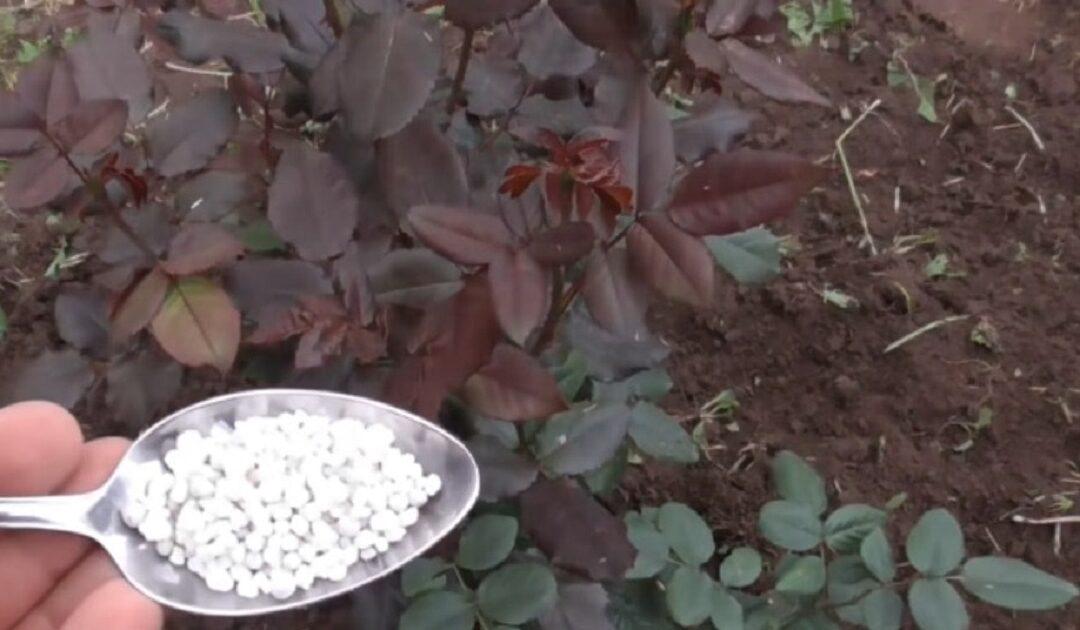 Îngrijirea tomnatică a trandafirilor. Prevenirea degerării tufelor frumoase!